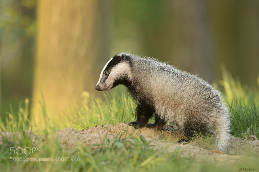Photograph Baby Badger by Eike Mross on 500px