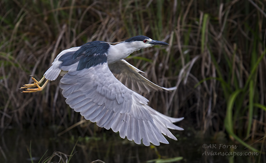 Photograph BC Night Heron by Alfred Forns on 500px