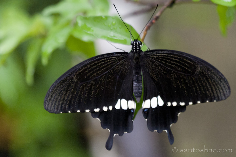 Common Mormon (Papilio polytes romulus) - male