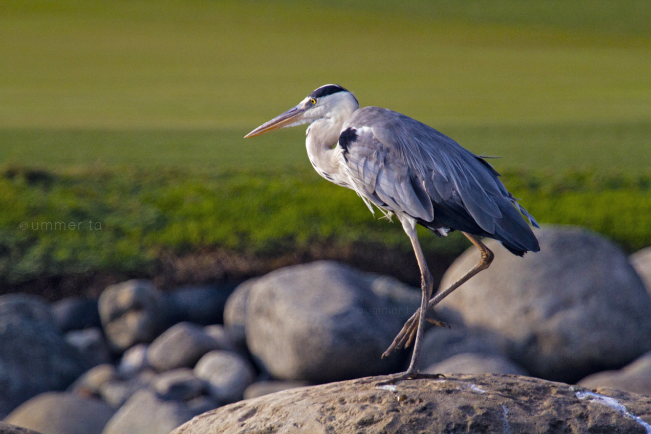 Photograph Grey Heron by Artist Ummer Ta  on 500px