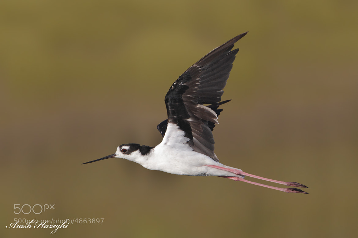 Photograph Black-necked Stilt by Ari Hazeghi on 500px