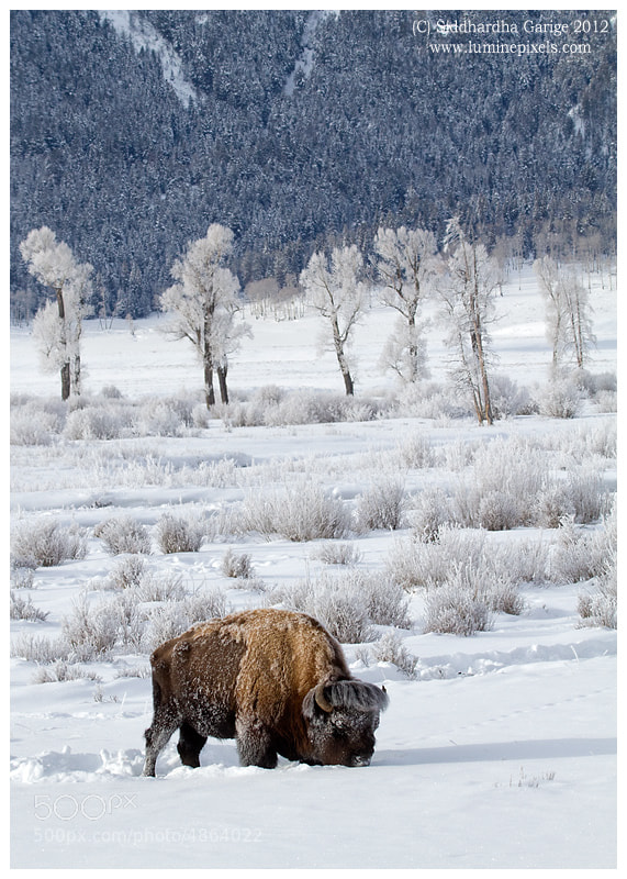 Photograph Winter YellowStone  by Siddhardha Garige on 500px