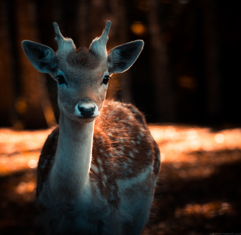 Photograph Deer by Mads Hagbarth Lund on 500px
