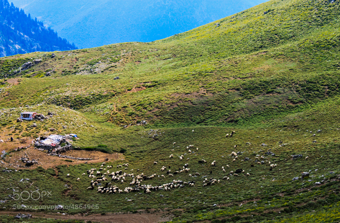 Photograph Sheep by Apostolos Stefanopoulos on 500px