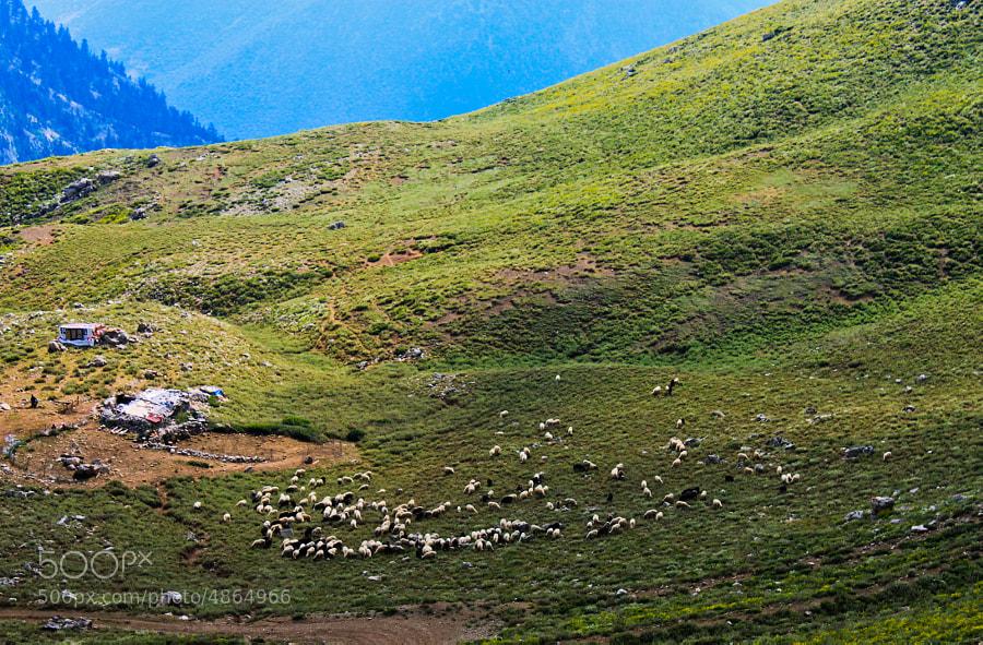 Sheep countryside
