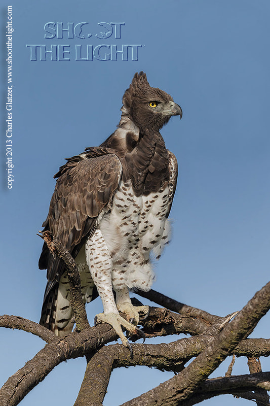 Photograph Martial Eagle by Charles Glatzer on 500px