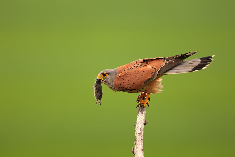 Photograph Kestrel before take off by Marc Costermans on 500px