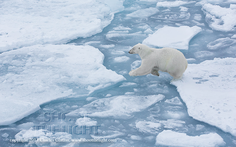 Photograph Polar bear jumping pack ice by Charles Glatzer on 500px