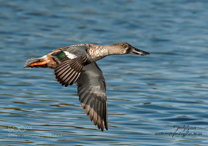 Captured this image of the female shoveller just after she took off .  She is not as colorful as the male but still very beautiful.