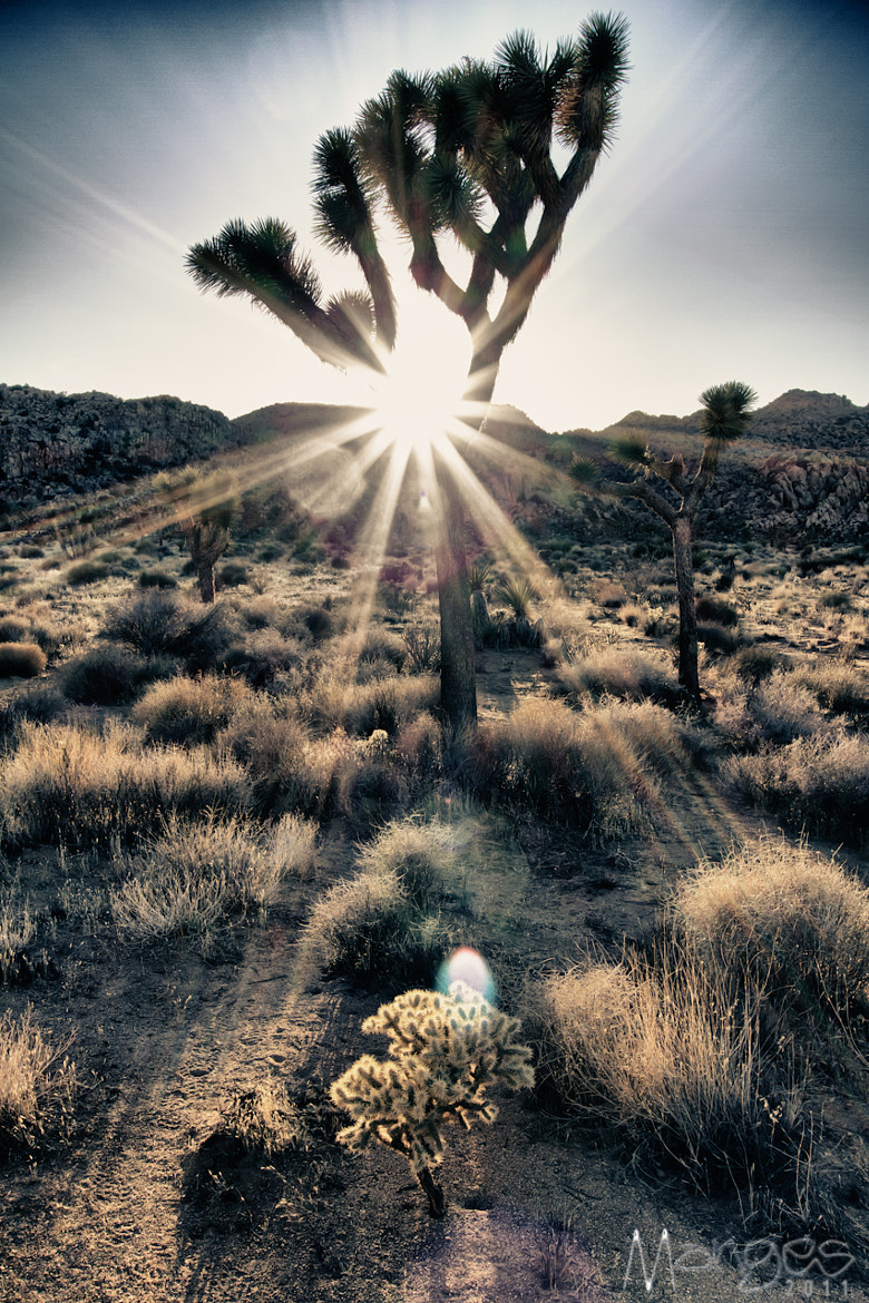 Photograph Post Apocalyptic Joshua Trees by Ross Manges on 500px