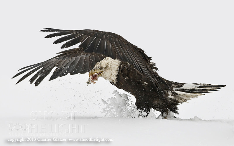 Photograph Eagle landing in snow by Charles Glatzer on 500px