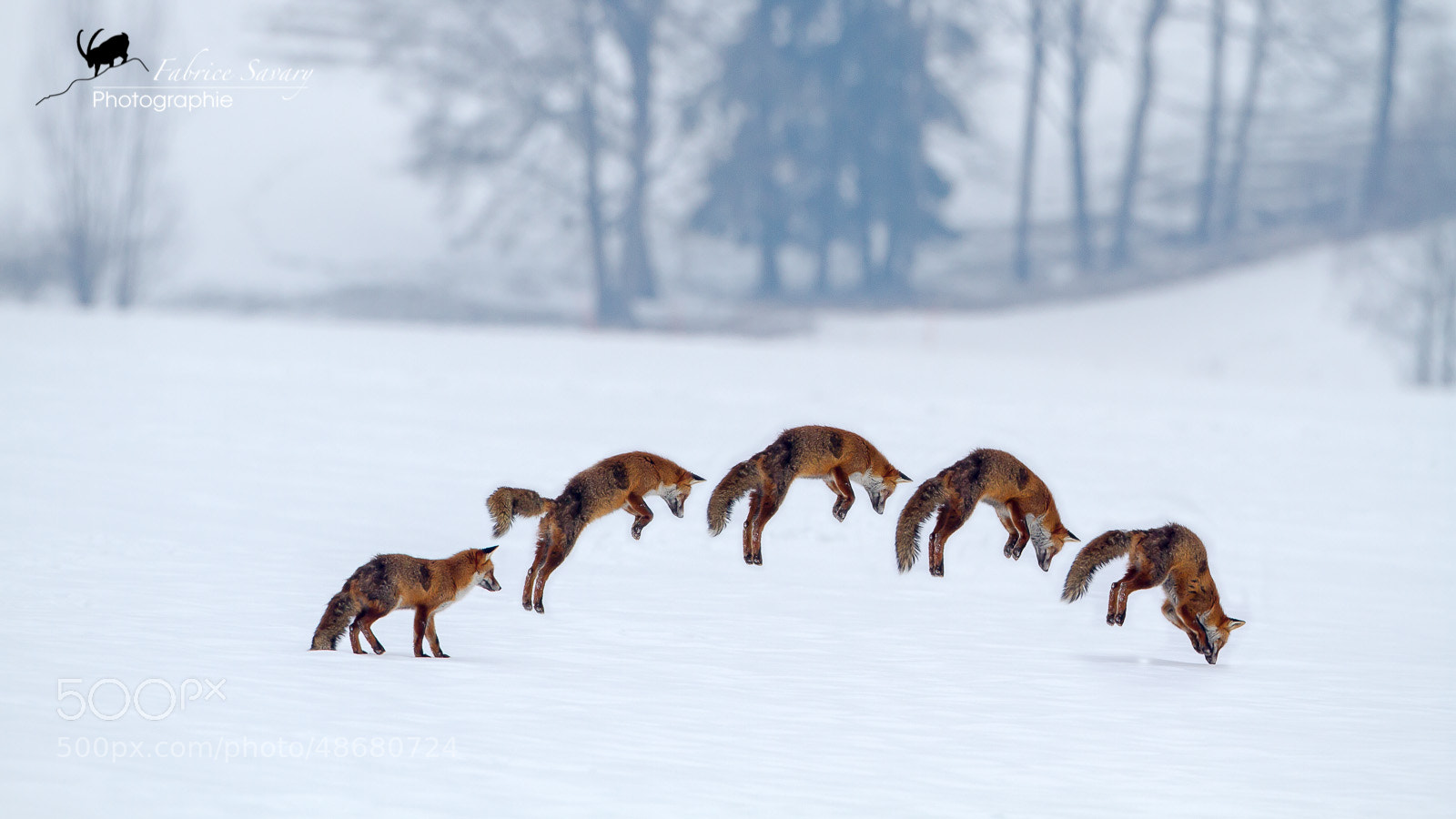 Photograph Fox jump by Fabrice Savary  on 500px