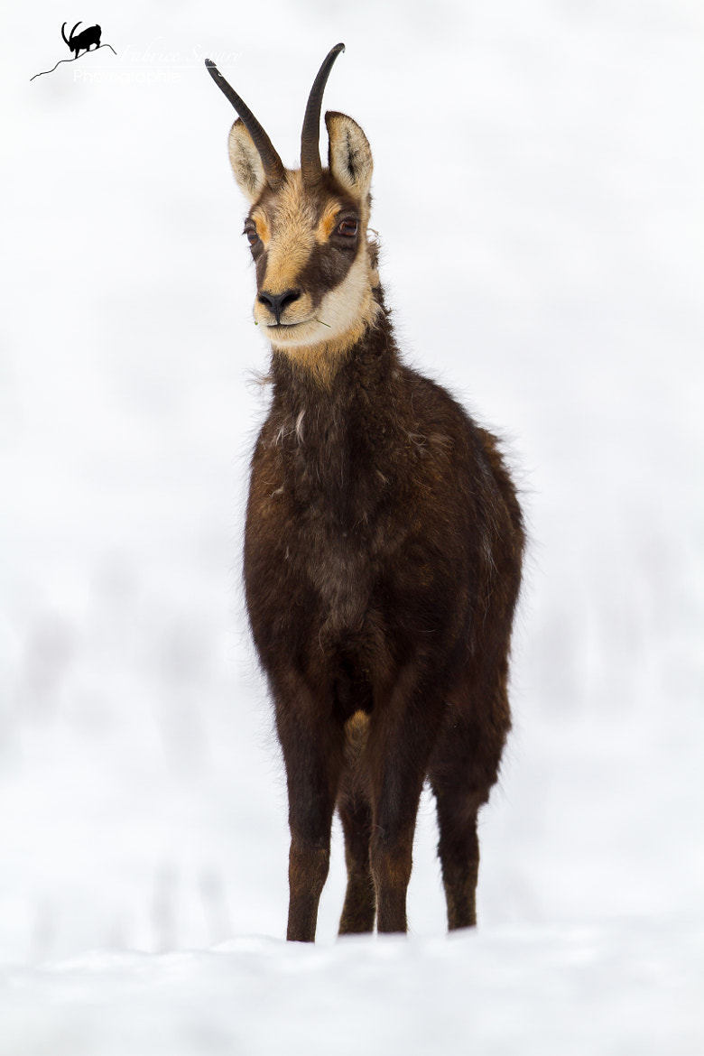 Photograph Chamois dans la neige by Fabrice Savary  on 500px