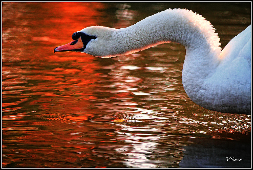 Photograph Swan by svanli on 500px