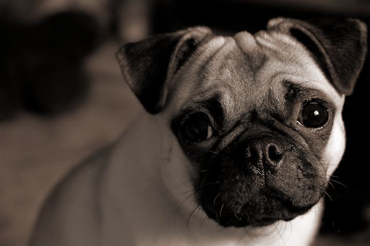 Photograph Poppy the Pug! by Amy Rose on 500px