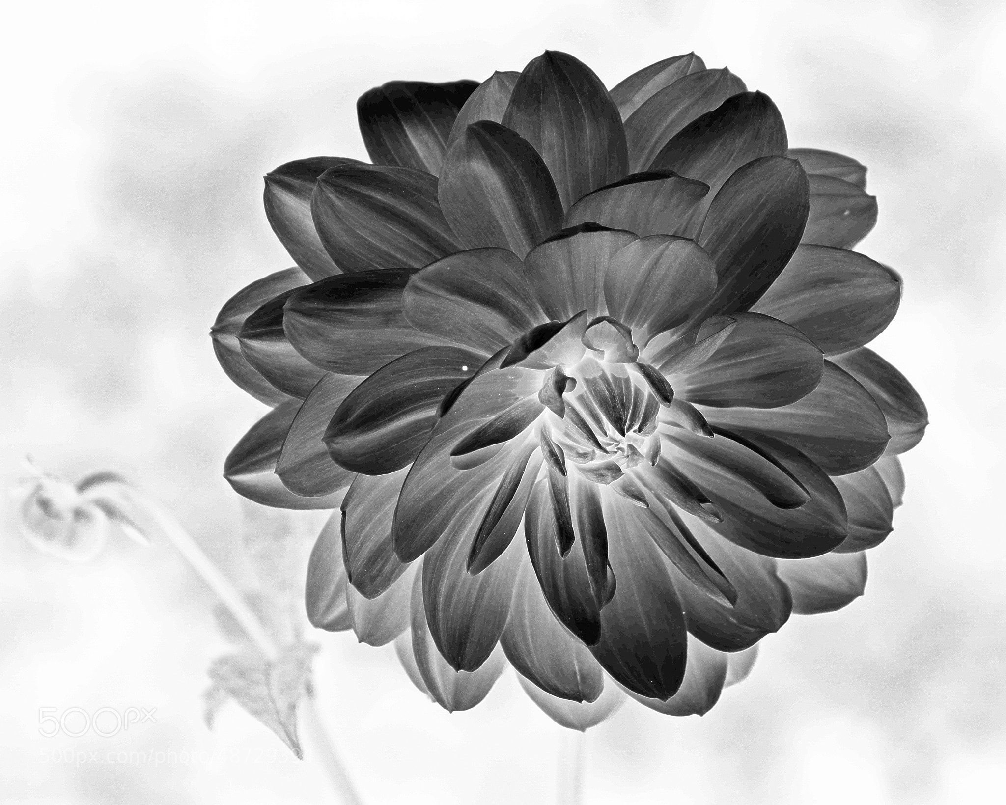 Photograph Dahlia by Brian Sanders on 500px