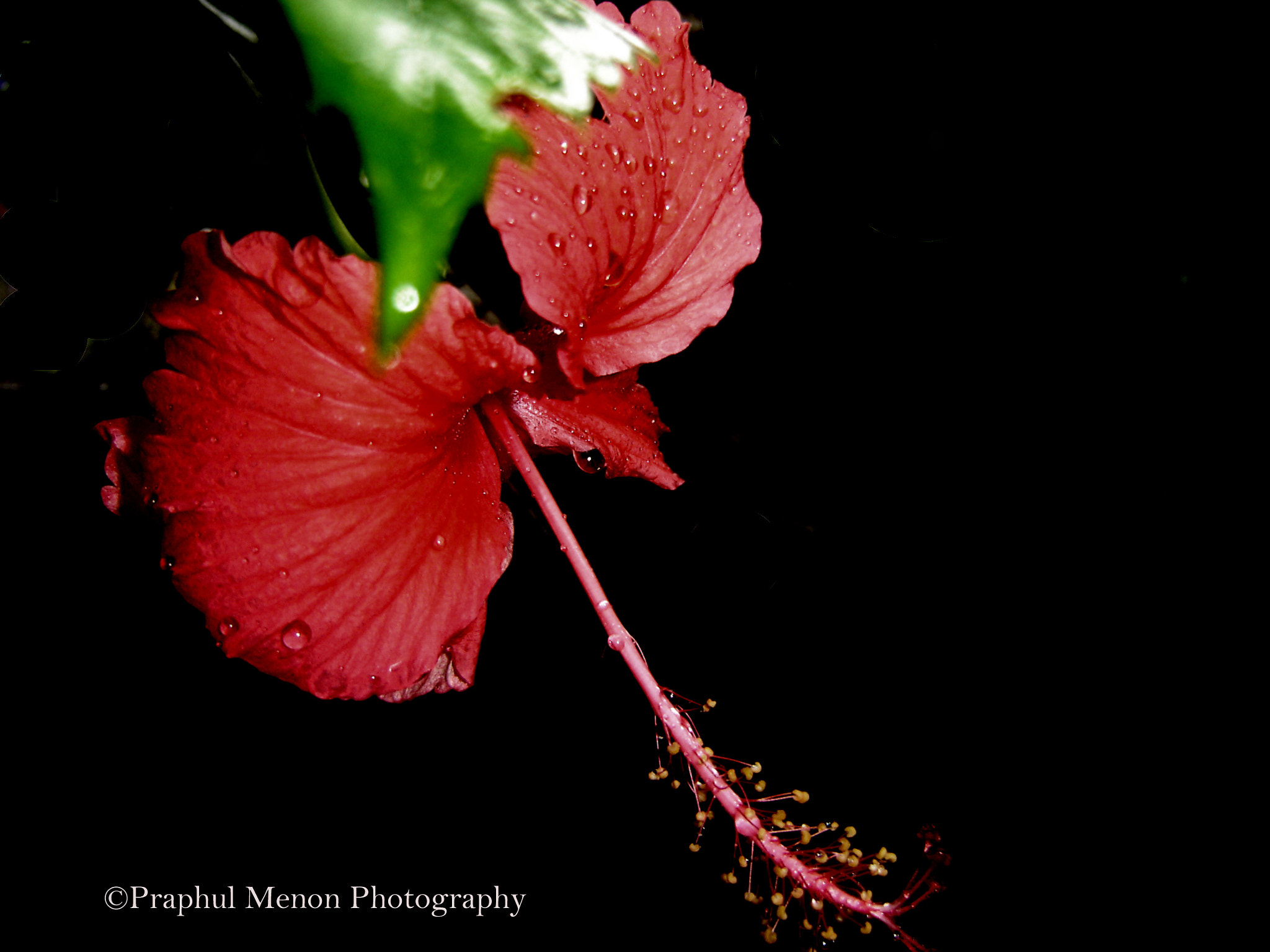 Photograph Hibiscus by Praphul T on 500px