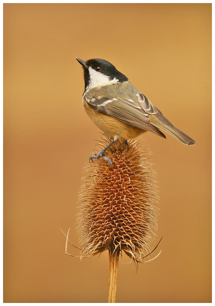 Photograph Coal Tit on Teasel by Geoffrey Baker on 500px