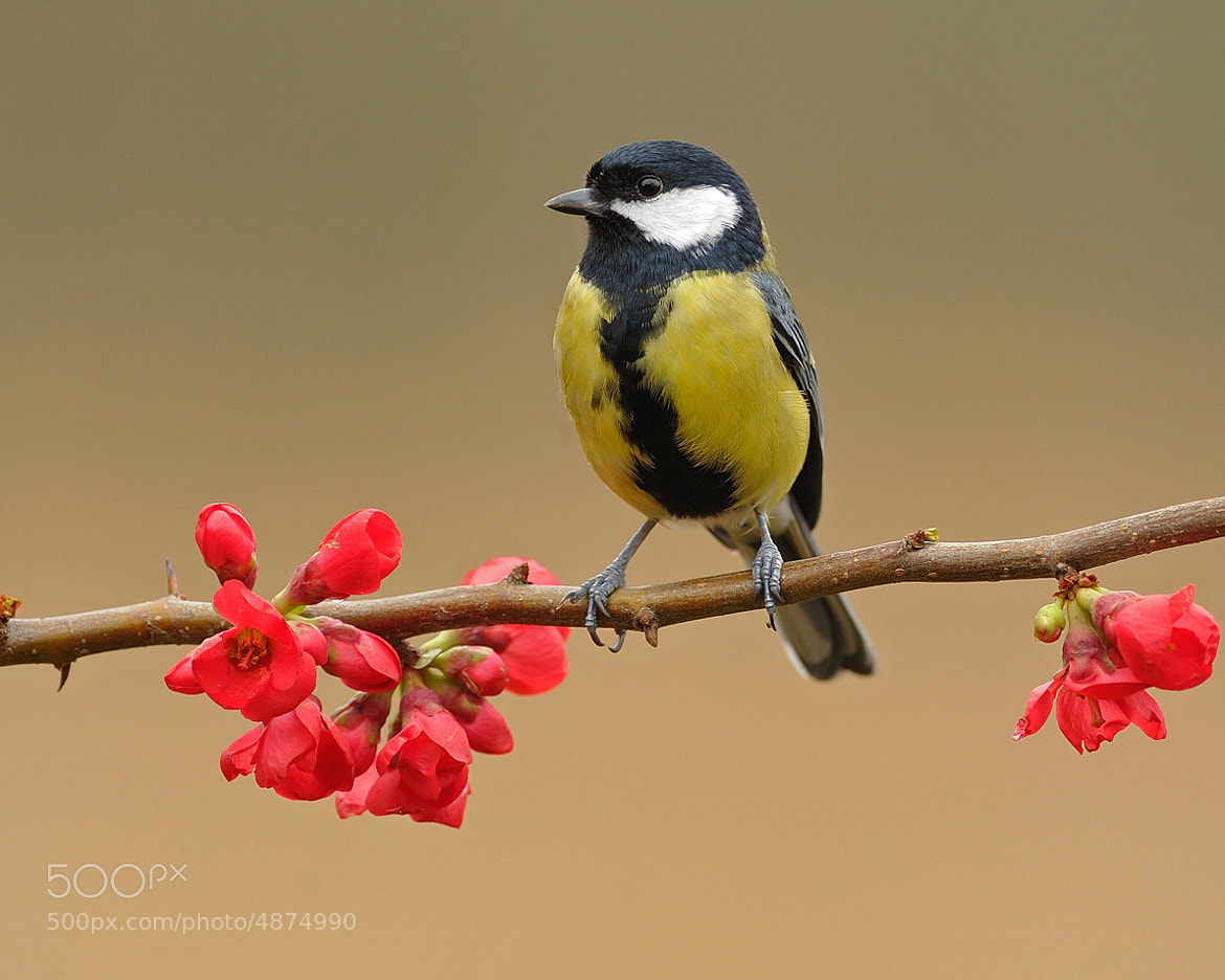 Photograph Great tit on Quince by Dean Mason on 500px