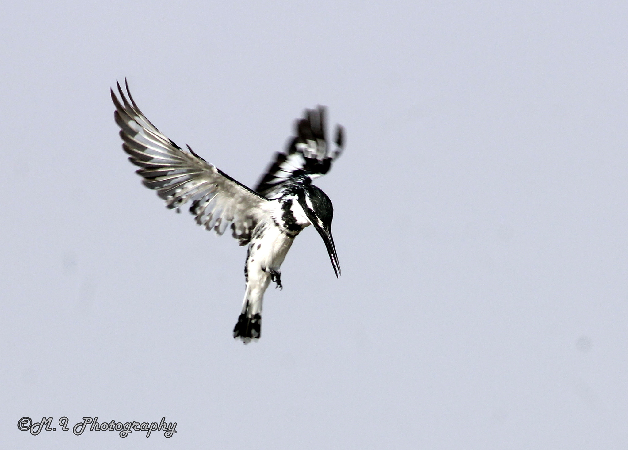 Photograph Pied Kingfisher by Mohamed Ismael on 500px