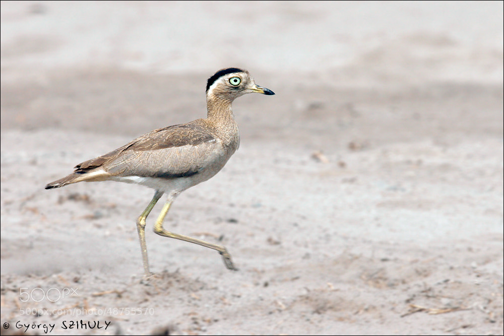 Photograph Peruvian Thick-knee (Burhinus superciliaris) by Gyorgy Szimuly on 500px