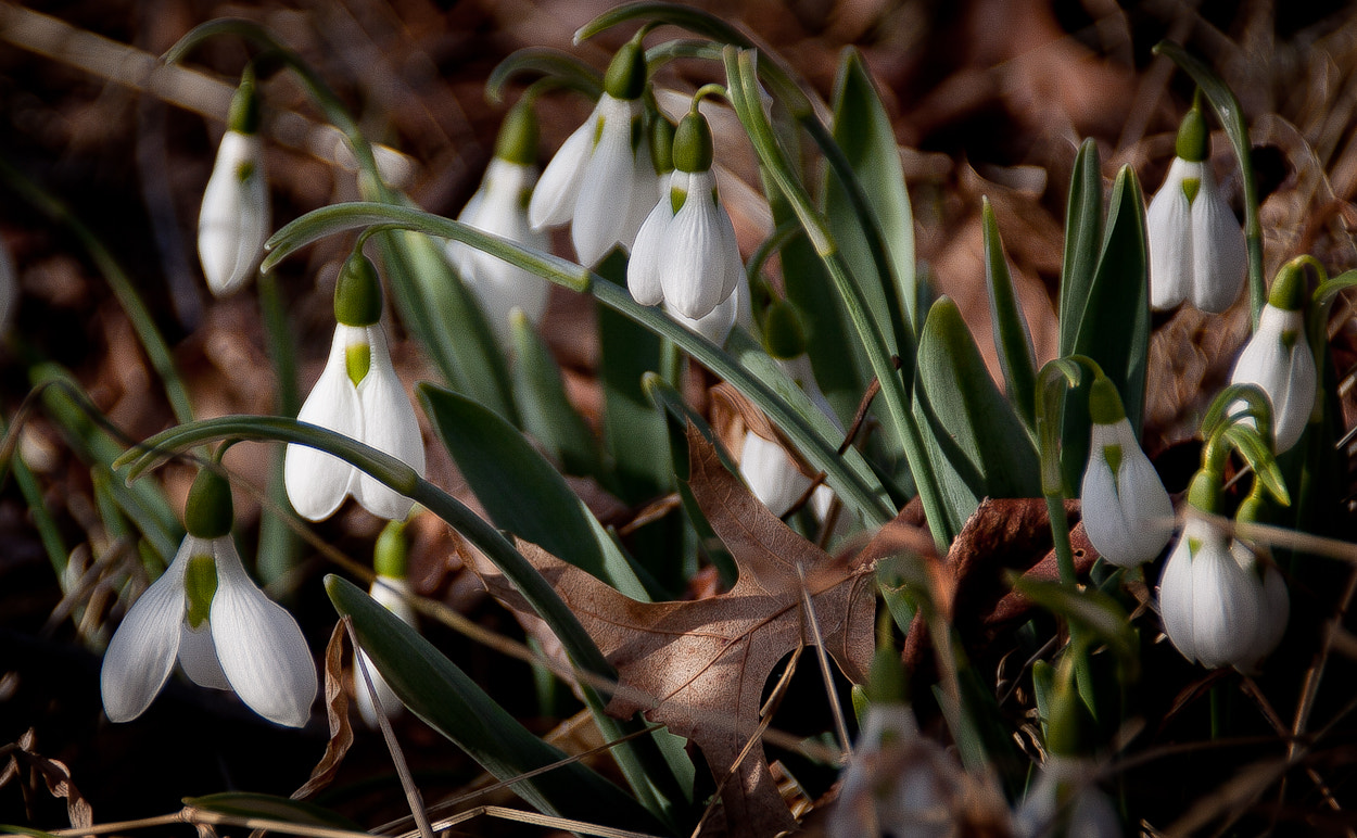 Photograph Snow Drops by Lorene Lavora on 500px