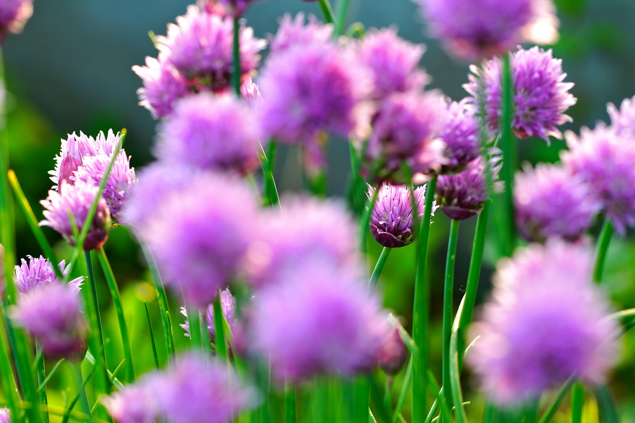 Photograph Chive by Simon Berger on 500px