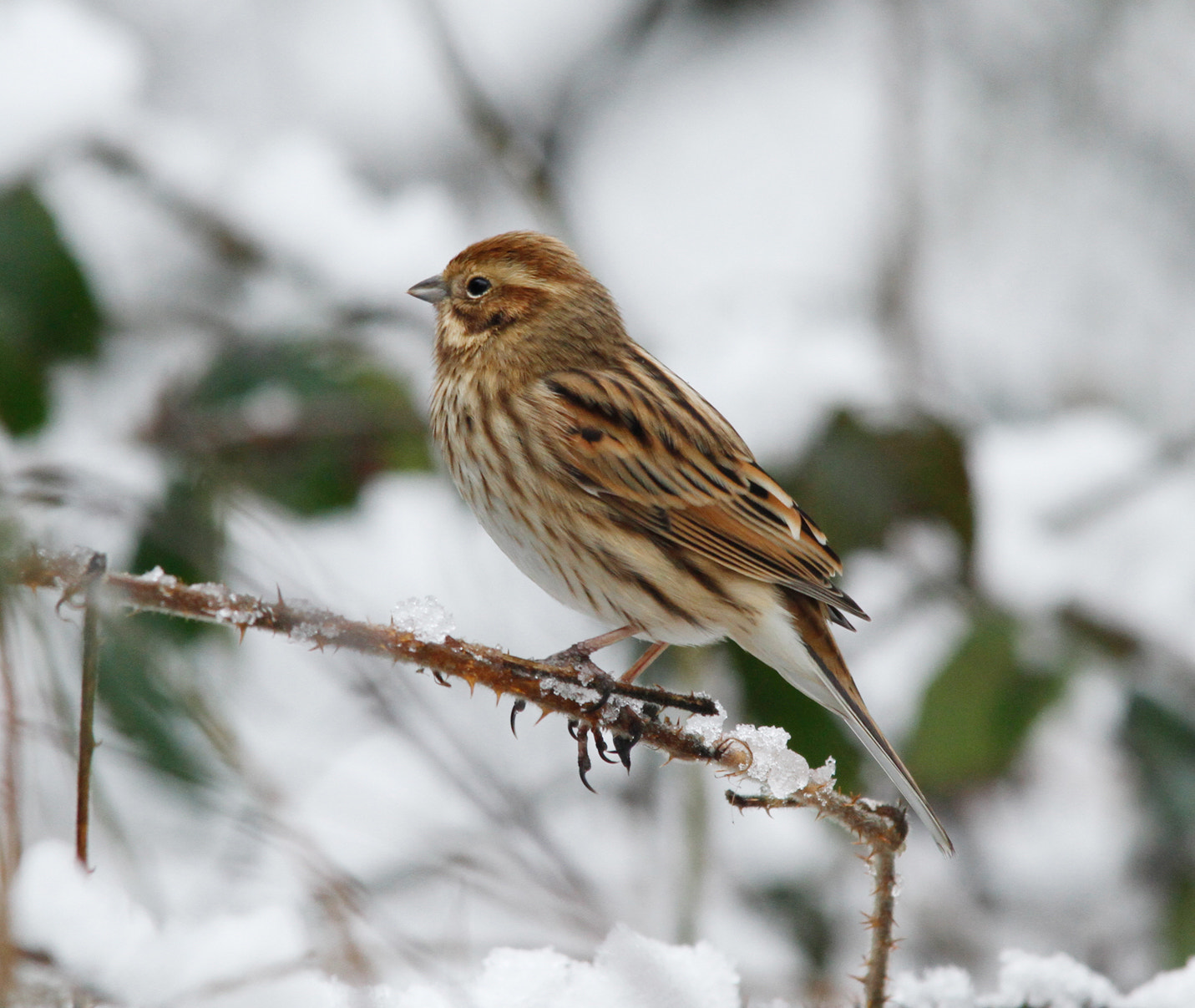 Photograph Female Reed Bunting In Snow by Ian Rentoul on 500px