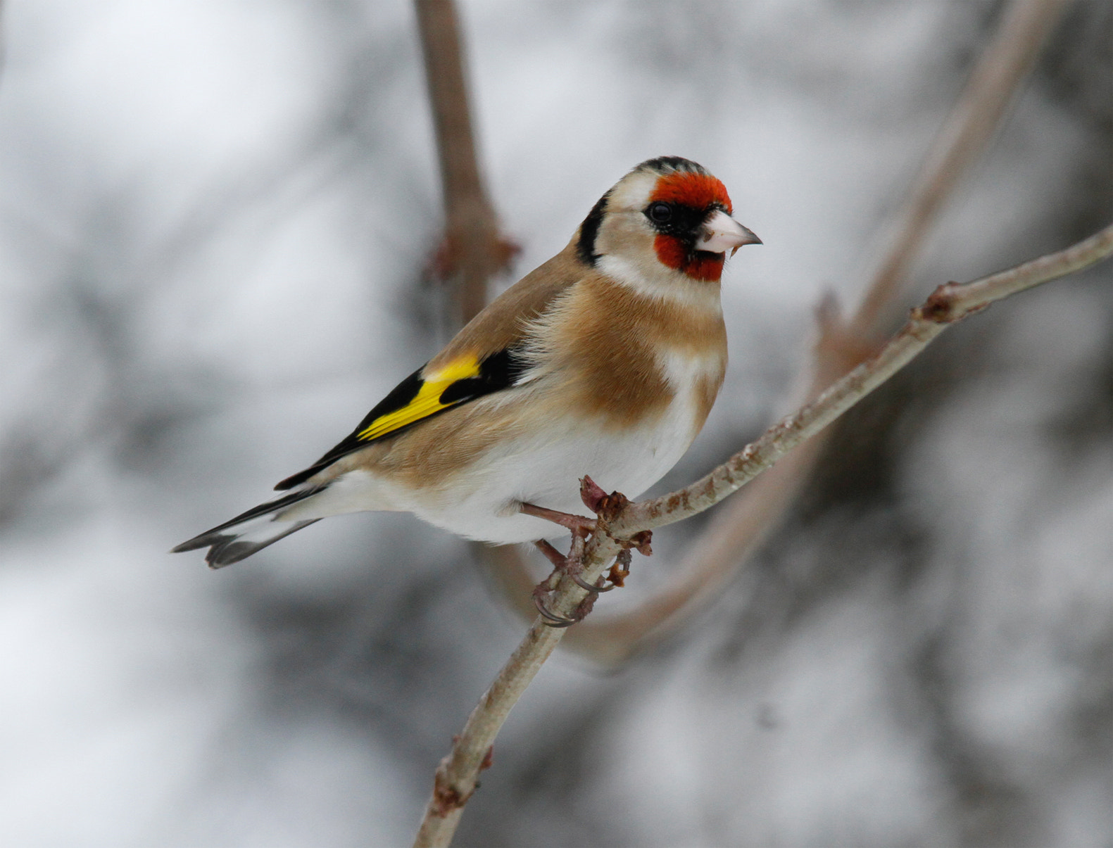 Photograph Goldfinch In Snow by Ian Rentoul on 500px