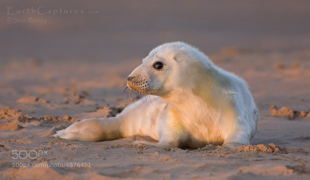 Photograph Seal pup by Sue Berry on 500px