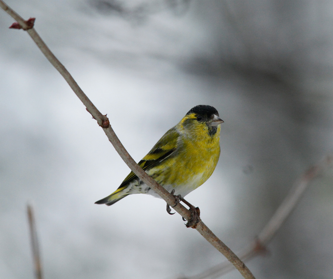 Photograph Siskin In Snow by Ian Rentoul on 500px