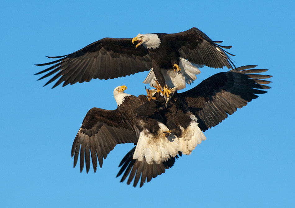 Photograph Mid Air Fight by Harry  Eggens on 500px