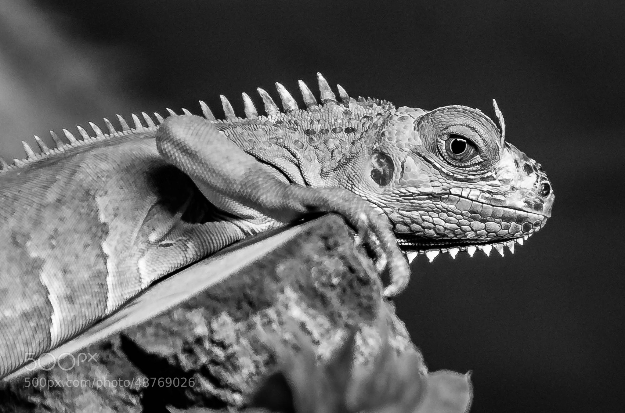 Photograph Portrait of an Iguana by julian john on 500px