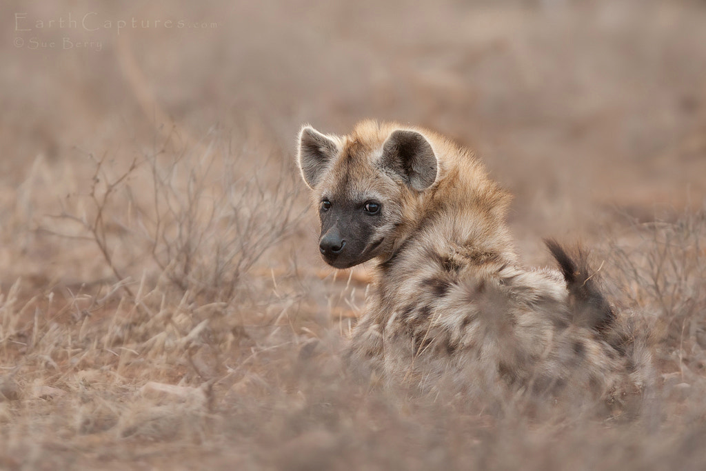 Photograph Hyena by Sue Berry on 500px