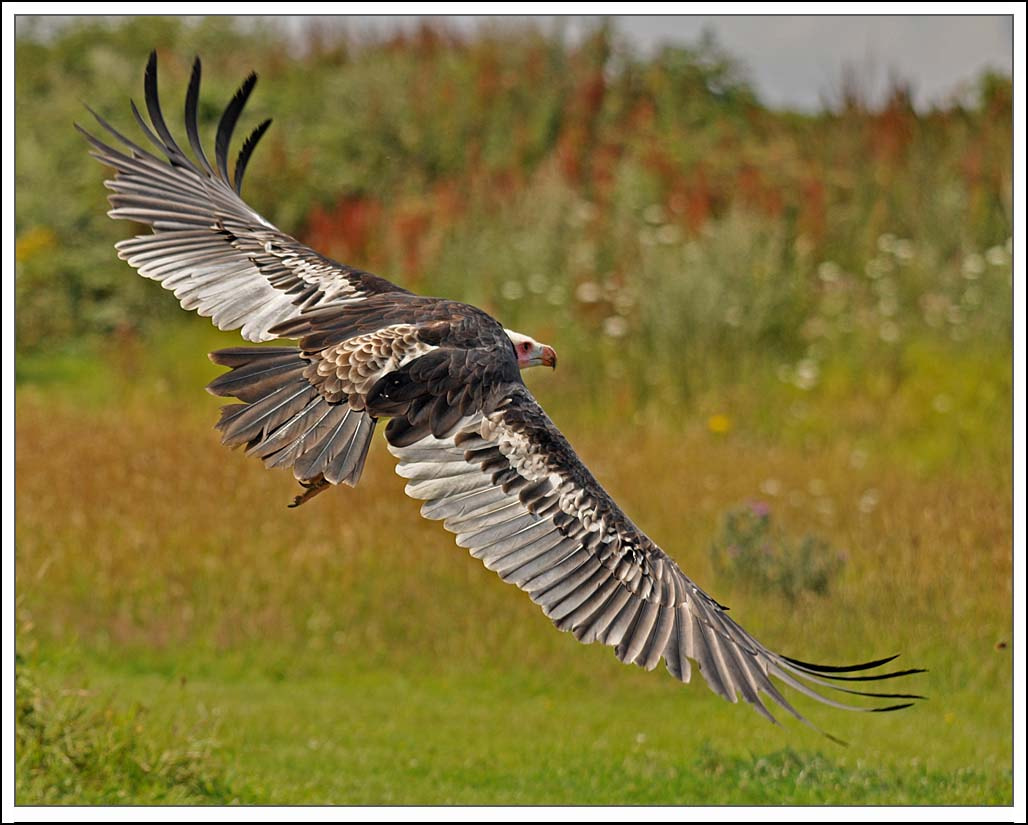 Photograph Flying vulture by Graham Turner on 500px