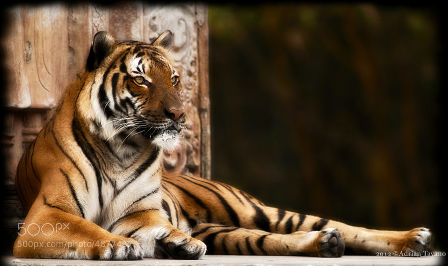 Hati (malayan) is the most focused one of all 4 tigers, the easiest to train as well. 