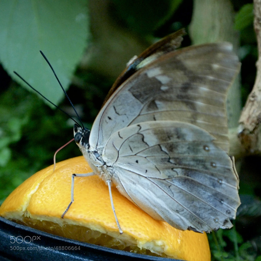 Blue Morpho by Pearl Pirie on 500px.com