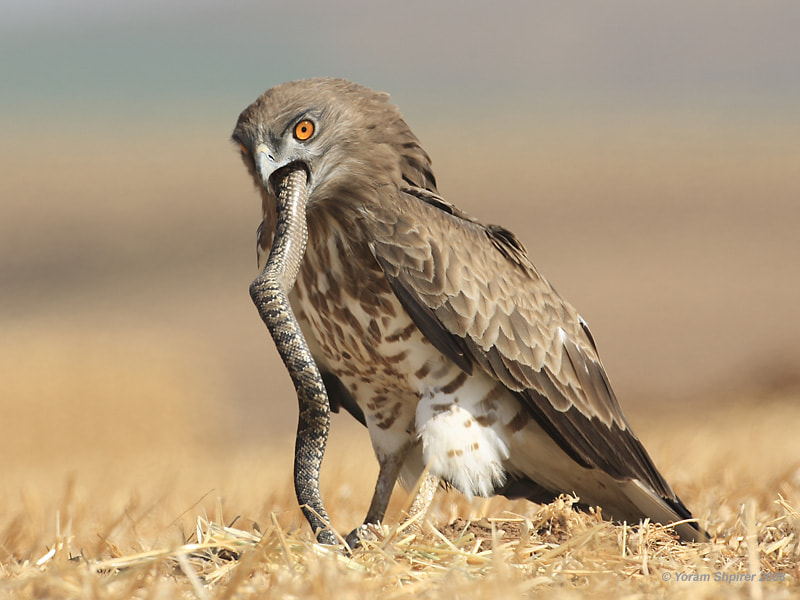 Photograph Short-toed Eagle by Yoram Shpirer on 500px