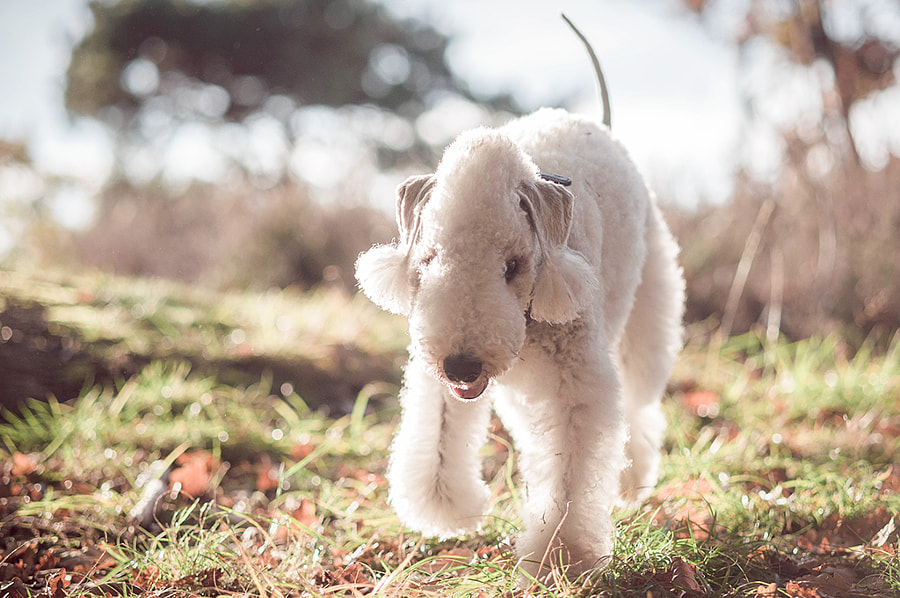 Photograph Bedlington Terrier by Sofie Karman on 500px