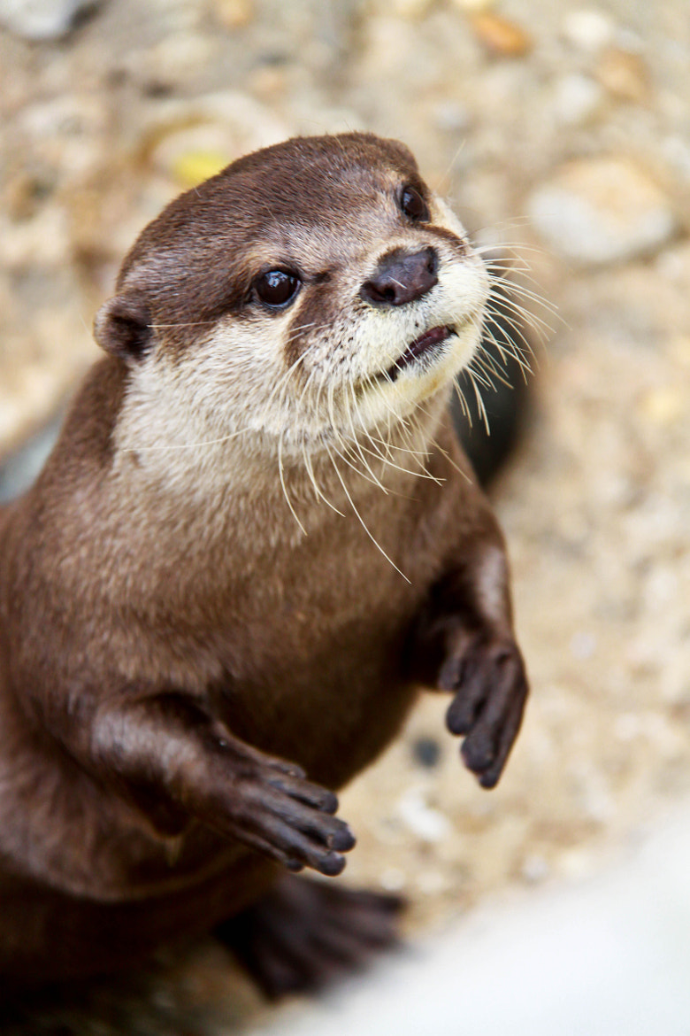 Photograph Otter by Barrientos Brissi on 500px