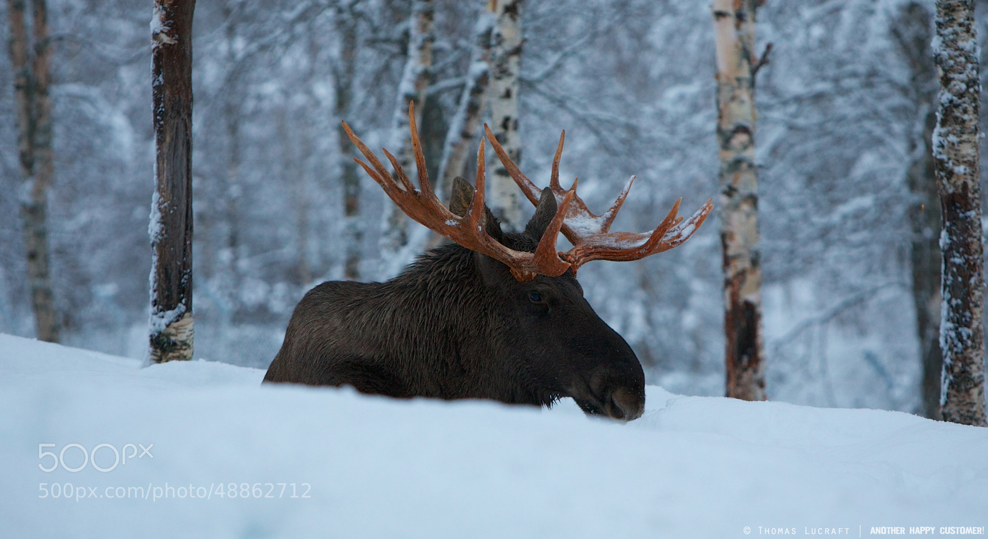 Photograph Simen the Moose by Thomas Lucraft on 500px