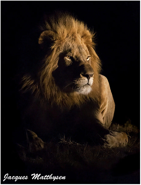 Photograph Lions of the night 2 by Jacques Matthysen on 500px