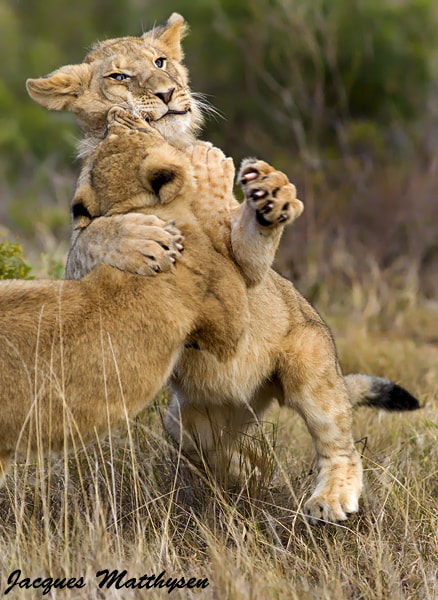 Photograph Lion hug by Jacques Matthysen on 500px