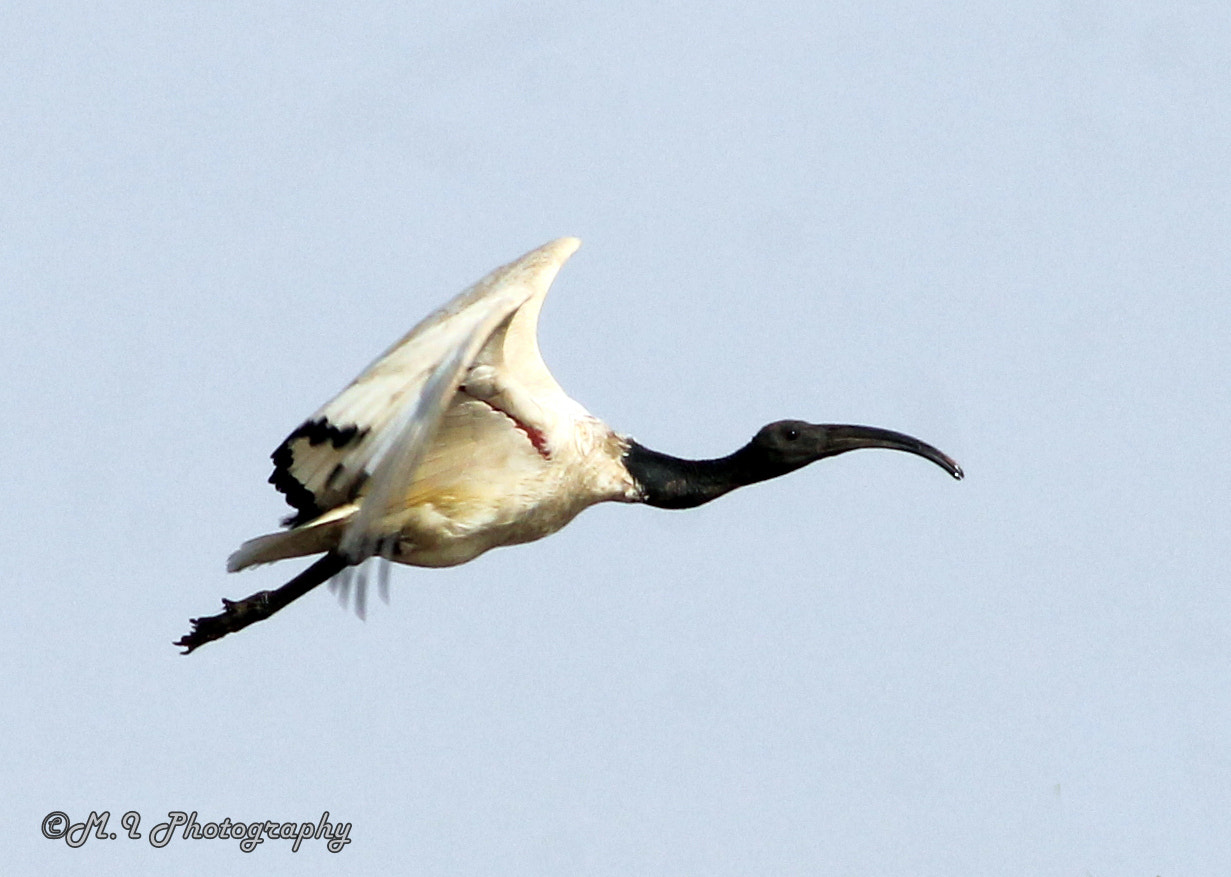 Photograph African Sacred Ibis (Threskiornis aethiopicus) by Mohamed Ismael on 500px