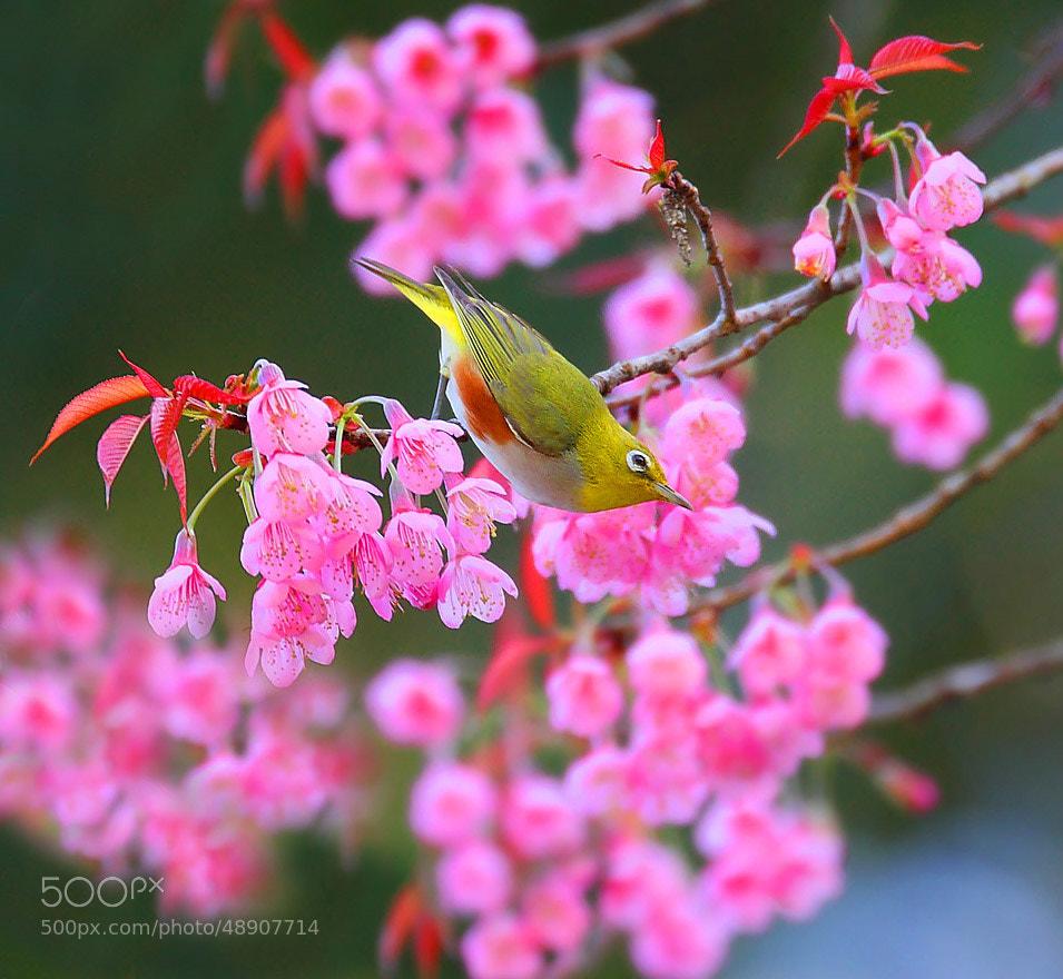 Photograph Chestnut Oriental WhiteEye by Munzir Khan on 500px