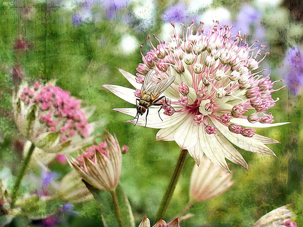 Photograph Astrantia by Gemma Fernández Cerezo on 500px
