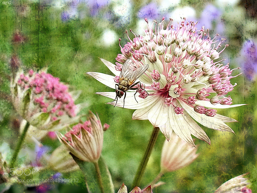 Photograph Astrantia by Gemma  on 500px