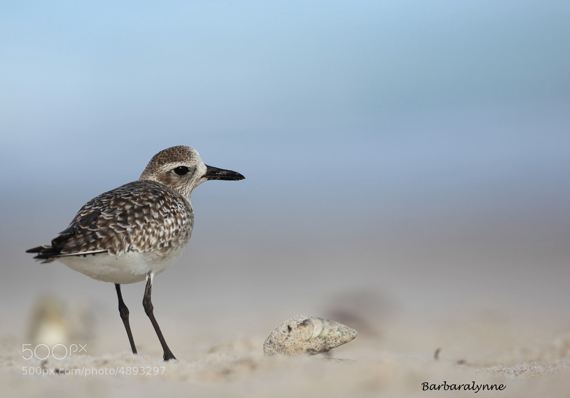 Photograph Black-Bellied Plover by Barb D'Arpino on 500px