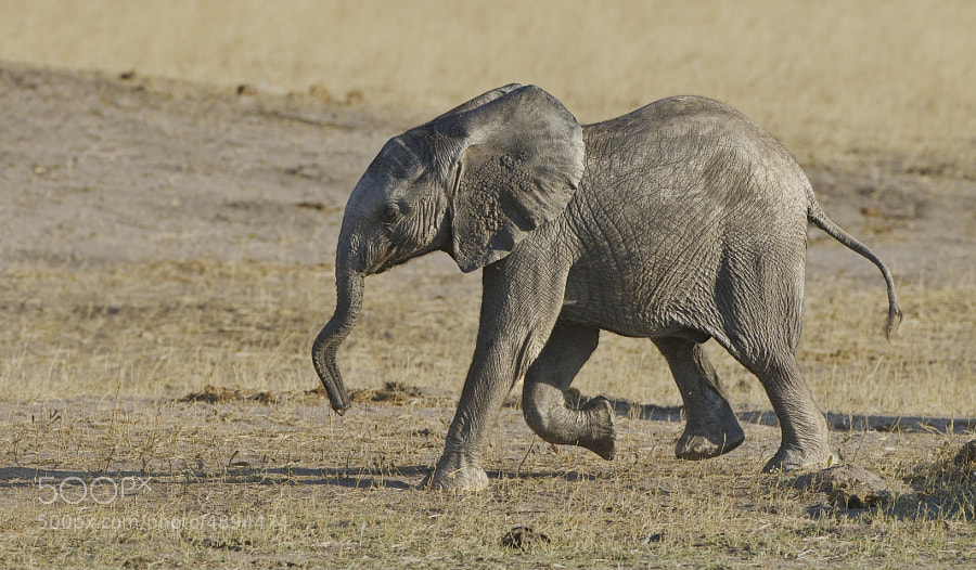 This Elephant was in a hurry for a drink at Ngweshla waterhole, Zimbabwe