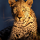 This is the wide-eyed male leopard Makepisi, who inhabits the Timbavati region of greater Kruger National Park in South Africa.  This image was amongst the many we captured during an intense four-day safari in Motswari Private Game Reserve.  Makepisi was the first of several leopards we would encounter during the trip, and this image was captured on our first game drive.